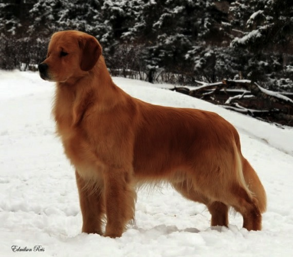 Golden Retriever image: BPISS Can Ch Hollykins All The Rite Reasons