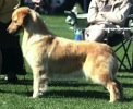 Golden Retriever image:  Can Ch Hollykins Journey To Snowtree OD Am CD TD CGC / Can WC CD (Am Ch Major Ptd)