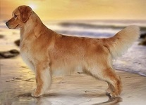 Golden Retriever image: 'Sport' #1 Golden in Canada; #4 All Breed