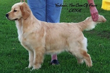 Golden Retriever image: Can Ch Verdoro's New Coat Of Paint